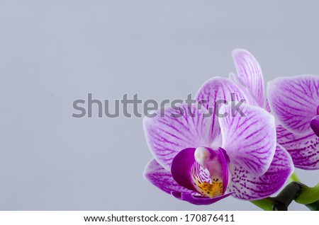 purple orchid at a withe backround isolated - stock photo