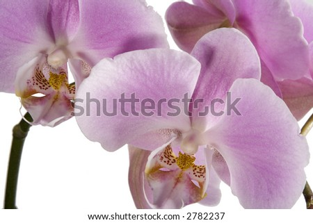 Purple Orchid Blossoms isolated against white. - stock photo