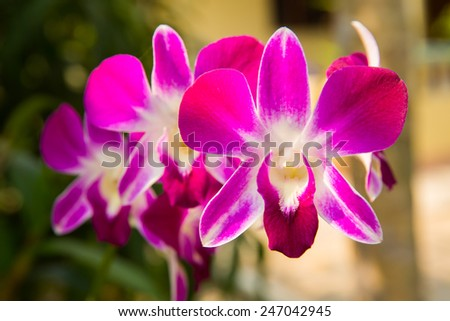 Purple orchid flower close up.