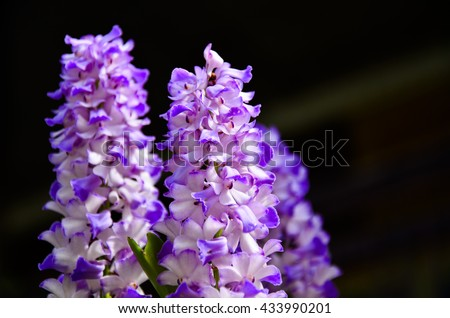 Purple orchid flower White orchid on a black background - stock photo