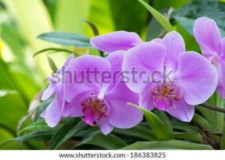 Purple orchid, flowering Bush close up - stock photo