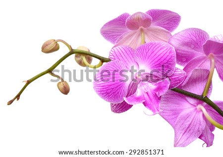 Purple orchid flowers, isolated on white background - stock photo