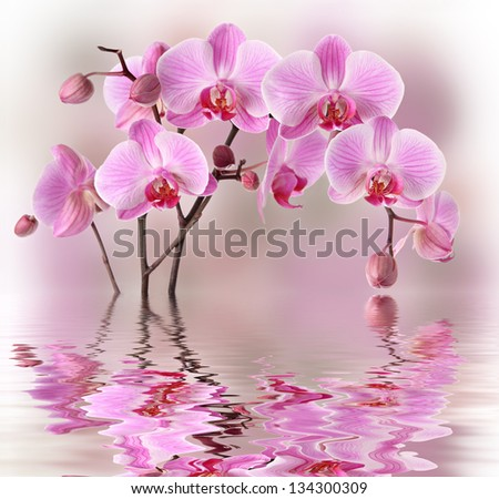 Purple orchid flowers with water and reflection - stock photo