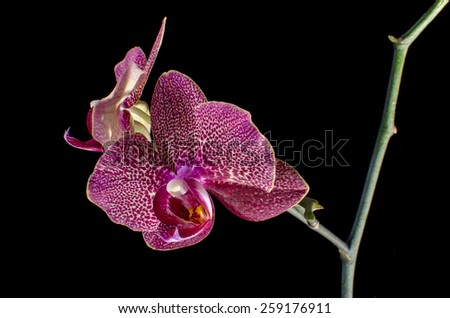 Purple orchid isolated on black - stock photo