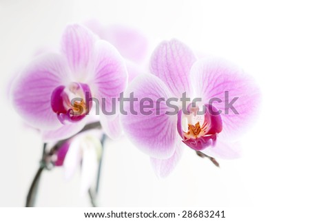 Purple orchid isolated on white background - stock photo