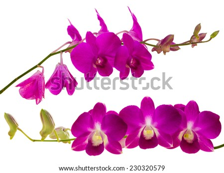 Purple orchid isolated two beautiful bloom on long stems. - stock photo