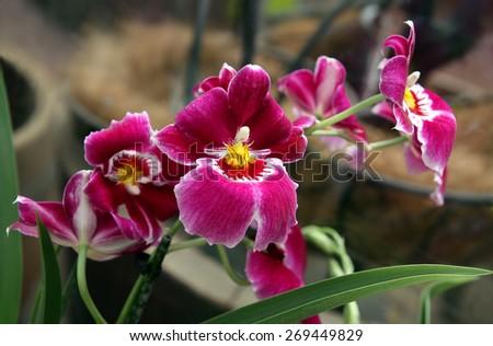 Purple orchid Miltoniopsis, closeup - stock photo