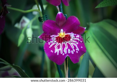 Purple orchid Miltoniopsis, closeup - stock photo