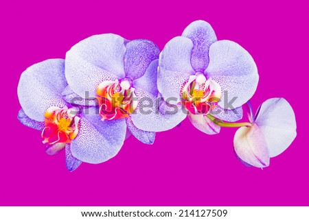 purple orchid on pink background - stock photo