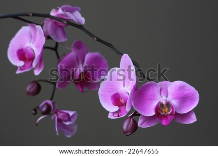 Purple Orchid Zen Flower - stock photo