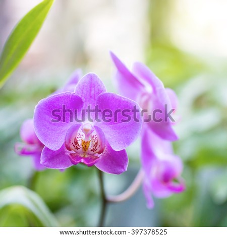 Purple orchids in a wild tropical forest. Beautiful spring flowers with soft green background
