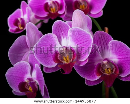 Purple Orchids isolated on a black background - stock photo