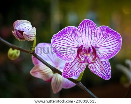 Purple orchids.(Vanda) - stock photo