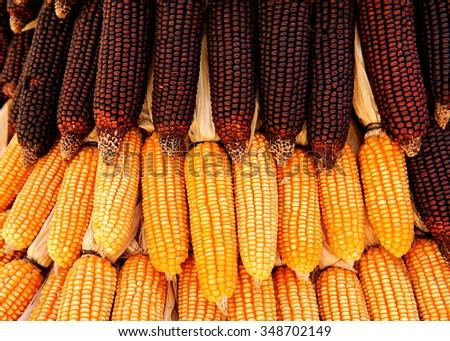 purple organic corn, Maize - stock photo