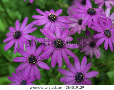 Purple Osteospermum flower - but commonly known as the purple daisy - stock photo