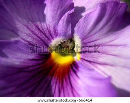 Purple Pansy - stock photo