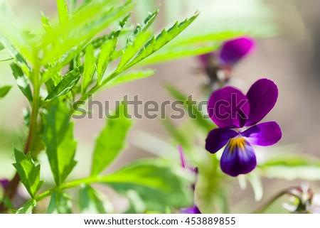 Purple pansy flower - stock photo