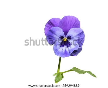 Purple pansy flower with leaf closeup isolated on white.  - stock photo