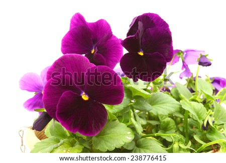 Purple Pansy or viola flowers in a pot isolated on white background  - stock photo