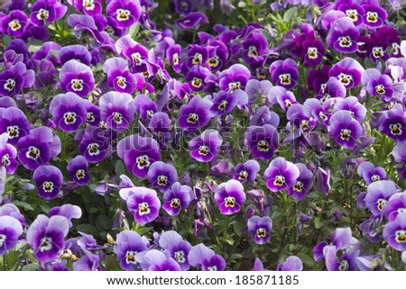 Purple pansy (Viola Tricolor) flowerbed - stock photo