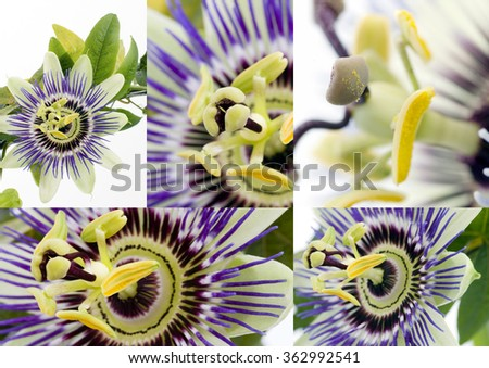 Purple Passionflower collage over white background - stock photo