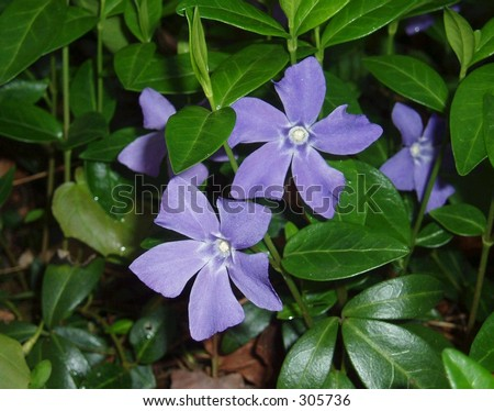 Purple periwinkle flowers - stock photo
