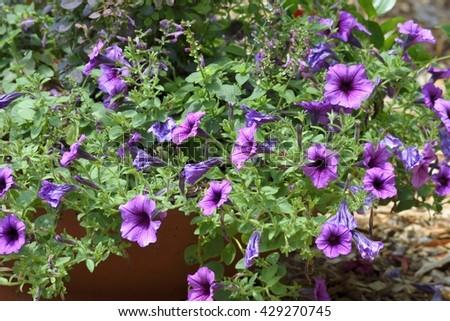 Purple Petunia Flora background - stock photo