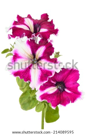 Purple petunia flowers isolated on white background - stock photo