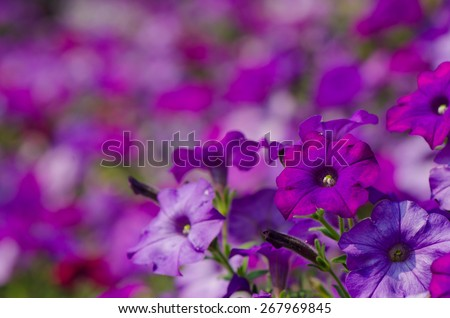 Purple Petunia flowers with colorful background. - stock photo