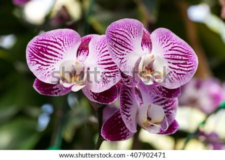 Purple phalaenopsis orchid flower - stock photo