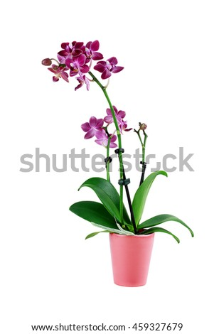 Purple Phalaenopsis Orchid Flower in a flower pot isolated against a white background with clipping path included. Also known as the Moth Orchids. - stock photo
