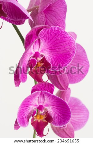 Purple Phalaenopsis orchids close up - stock photo