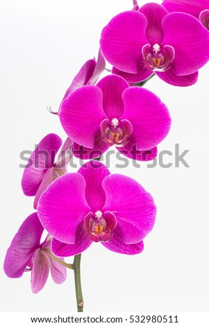 Purple Phalaenopsis orchids close up over white background