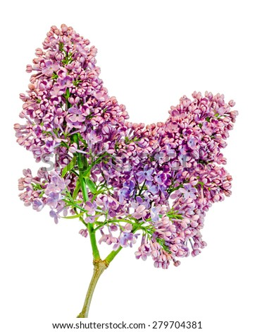 Purple, pink and white Syringa vulgaris (lilac or common lilac) flowers, close up, white background. - stock photo
