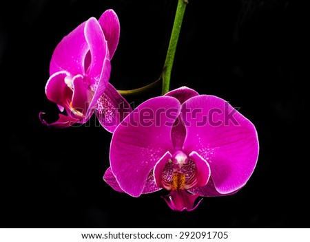 purple pink orchid flowers with black background - stock photo