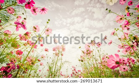 Purple, pink, red, cosmos flowers in the garden with sky clouds background in pastel retro vintage style.soft focus. - stock photo