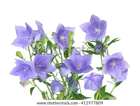 purple Platycodon grandiflorus flower isolated on white background  - stock photo