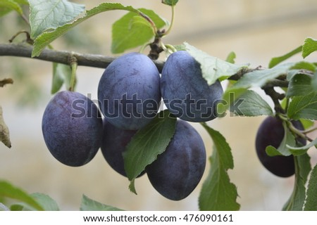 Purple plums hanging on branch in orchard