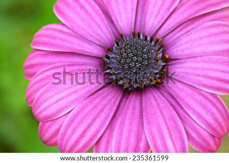 purple pollen flower - stock photo