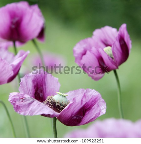 purple poppy on a soft background with selective focus - stock photo