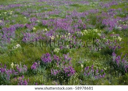 Purple prairie flowers in the summer - stock photo