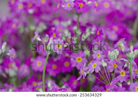 Purple primrose flowers in flowerbed, natural background. - stock photo