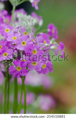 Purple primrose flowers in flowerbed with colorful background. - stock photo