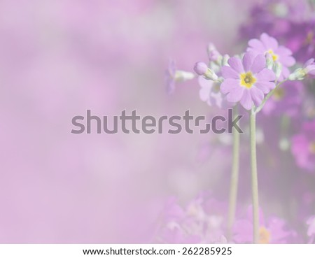 Purple primrose flowers in pastel tone for soft  background. - stock photo