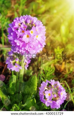 Purple primrose in green garden. - stock photo