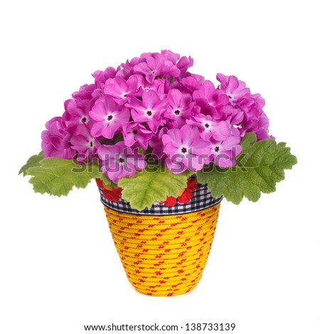 Purple primrose in yellow pot isolated on white background - stock photo