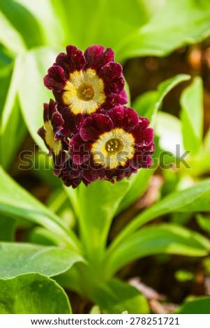 Purple primula auricula (primrose) in the garden - stock photo