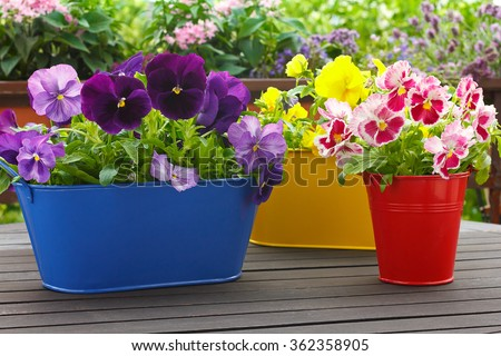 Purple, red and yellow pansy flowers in 3 corresponding pots on a balcony table, copyspace, background - stock photo