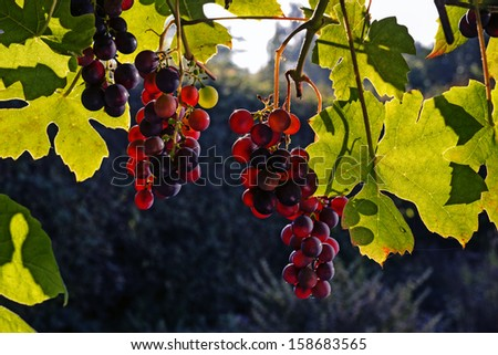 Purple red grapes with green leaves on the vine - stock photo