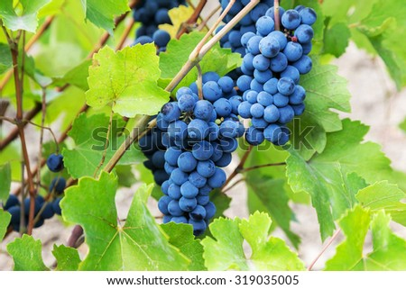 Purple red grapes with green leaves on the vine. fresh fruits. Selective Focus